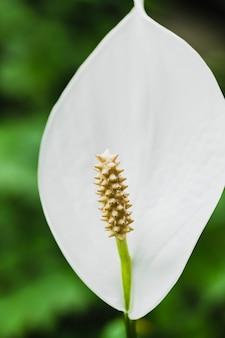 Nahaufnahmefriedens-lilienblume