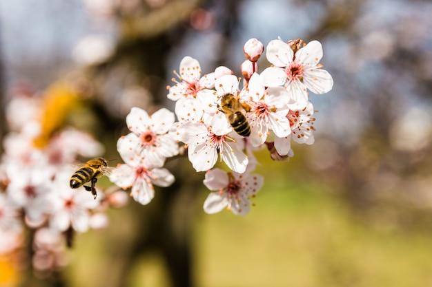 Nahaufnahmefrühlingsnaturszene von zwei bienen, die weiße rosa blühende kirschblumen im sonnigen tag bestäuben