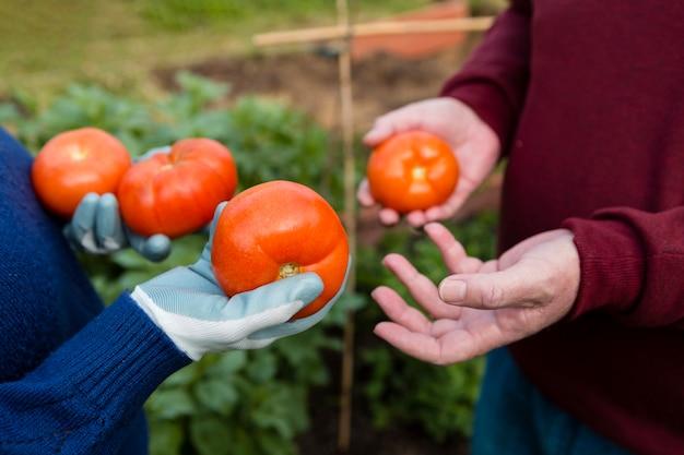 Nahaufnahmegärtner, die organische tomaten halten