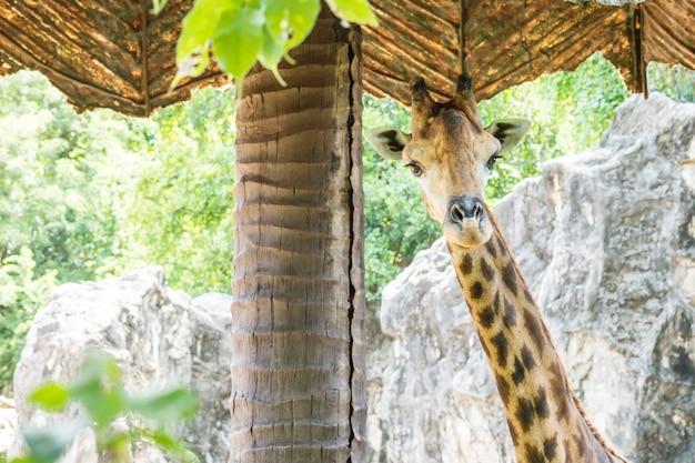 Nahaufnahmegiraffe unter sonnenschutz am zoohintergrund