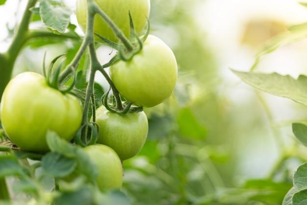 Nahaufnahmegruppe grüner tomaten, die im gewächshaus/horizontalen rahmen/unscharfen hintergrund wachsen