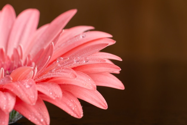 Nahaufnahmehälfte der rosa gerberagänseblümchenblume