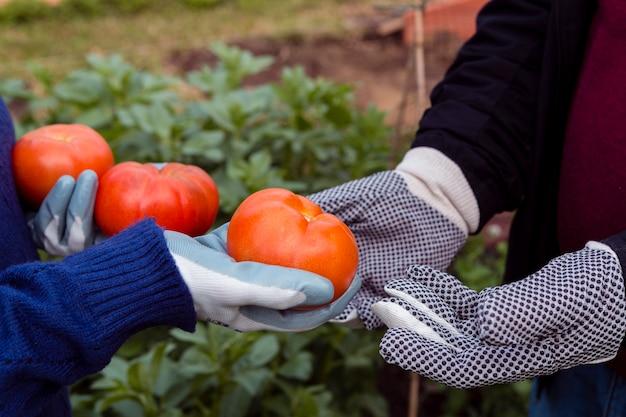 Nahaufnahmehände, die organische tomaten halten