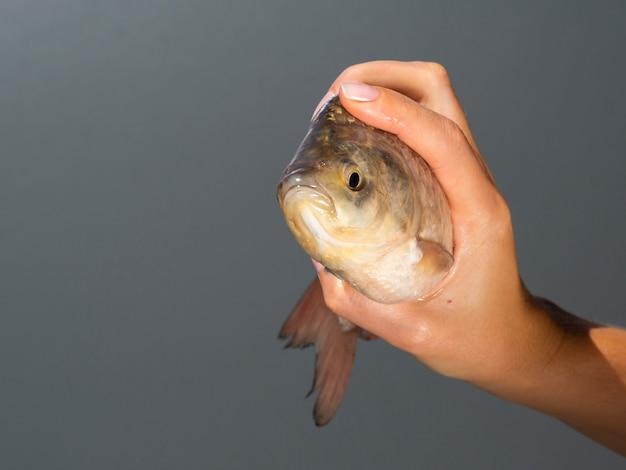 Nahaufnahmehand, die frische fische hält