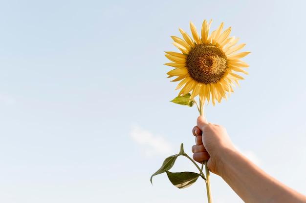 Nahaufnahmehand, die sonnenblume hält