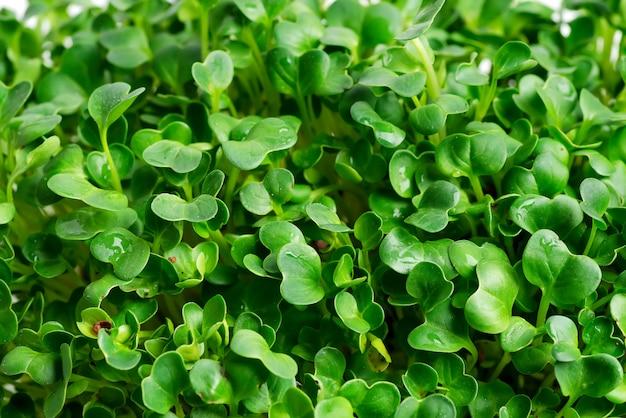 Nahaufnahmehintergrund vom wachsenden mikrogrün als natürlicher hintergrund.