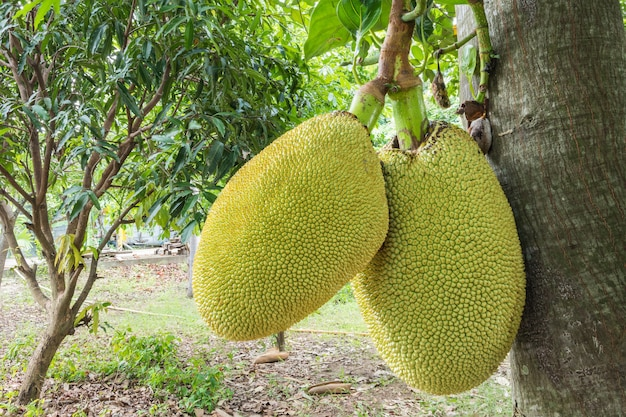 Nahaufnahmejackfruit am baum im obstgarten