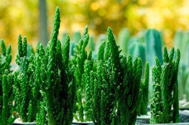 Nahaufnahmekaktuspflanzen in töpfen.