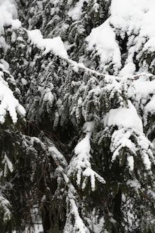 Nahaufnahmekiefern mit schneebedeckten zweigen