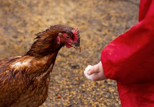 Nahaufnahmekind, das hühnernahrung hält