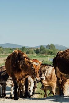 Nahaufnahmekühe, die auf schotterweg gehen