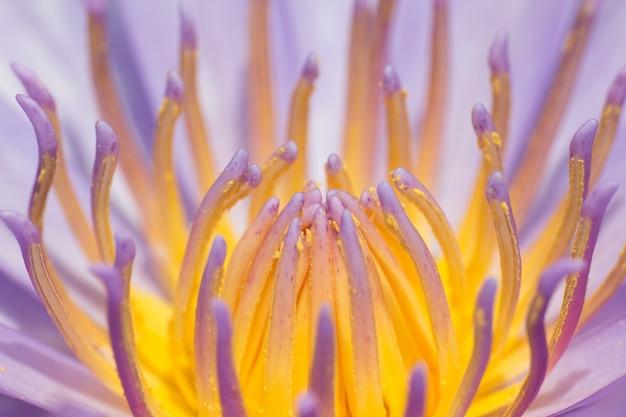 Nahaufnahmepollenlotusblüten oder seerosenblumen, die auf teich blühen
