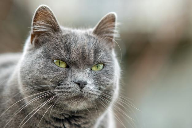 Nahaufnahmeporträt der ernsten grauen pelzigen katze.