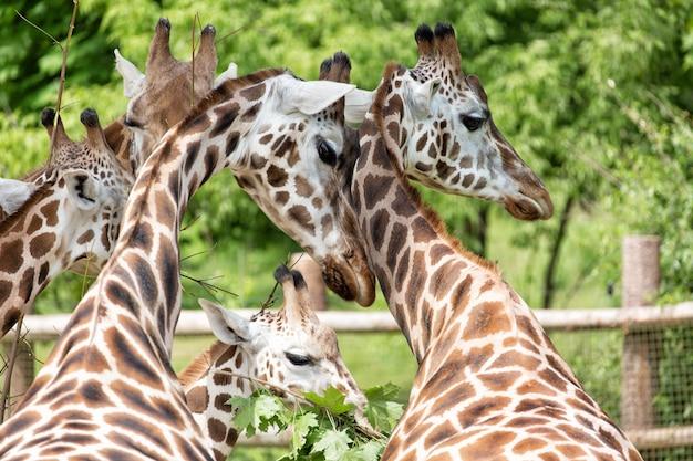 Nahaufnahmeporträt der giraffengruppe giraffa camelopardalis