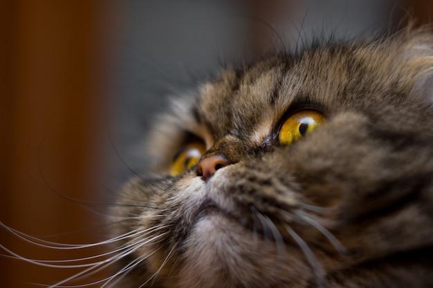 Nahaufnahmeporträt der netten britischen schottischen zuchtkatze, grau mit den orange augen, oben schauend
