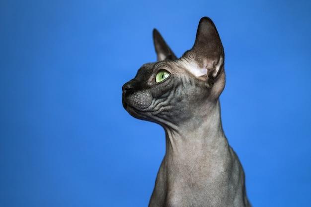 Nahaufnahmeporträt der schönen haarlosen weiblichen katze der kanadischen sphynx auf blauem hintergrund nahaufnahme