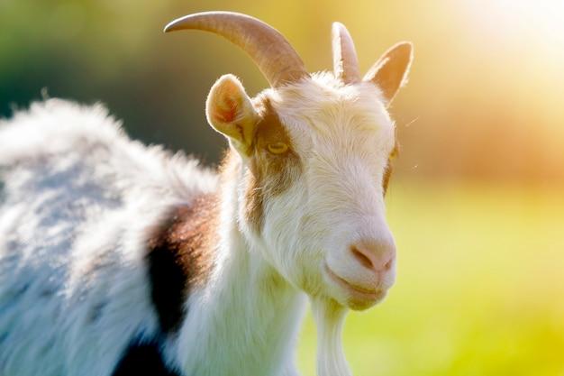 Nahaufnahmeporträt der weißen und braunen fleckigen heimischen zottigen ziege mit langen steilen hörnern, gelben augen und weißem bart auf unscharfem gelbem und blauem bokehhintergrund. konzept der nutztierhaltung.