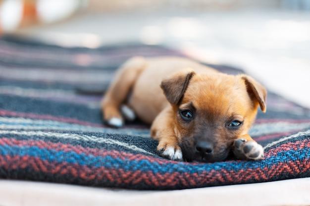 Nahaufnahmeporträt des baby-roten hundes, der draußen auf decke liegt.