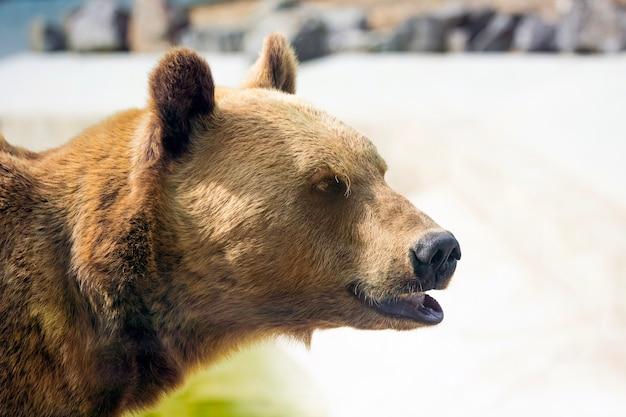 Nahaufnahmeporträt des braunbären im profil