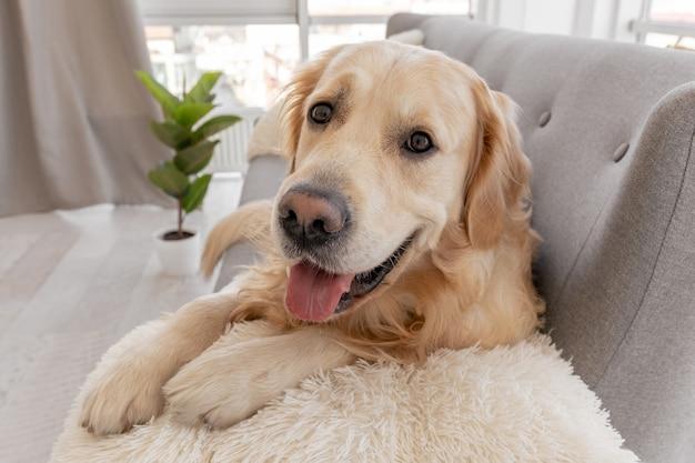 Nahaufnahmeporträt des golden retriever-hundes, der auf dem grauen sofa liegt und die kamera betrachtet
