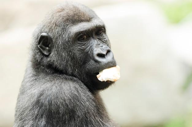 Nahaufnahmeporträt des gorillas frucht essend
