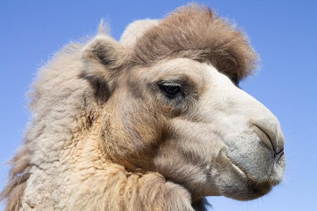 Nahaufnahmeporträt des kamelkopfes auf hintergrund des blauen himmels