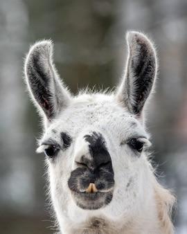 Nahaufnahmeporträt des lamas