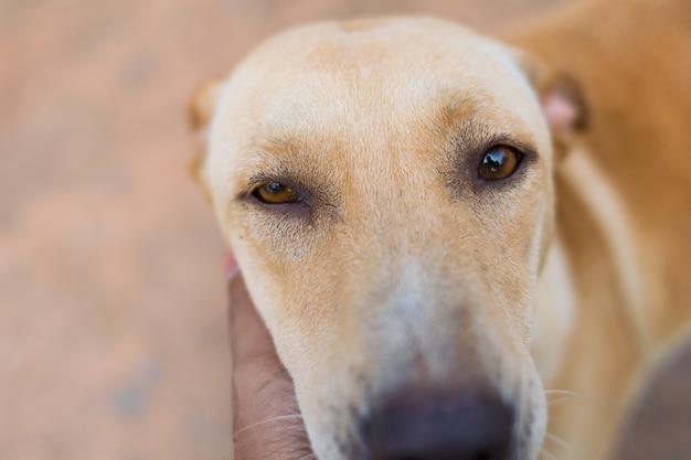 Nahaufnahmeporträt des roten hundes