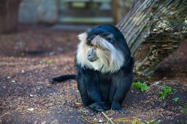 Nahaufnahmeporträt des wanderu makakenaffen, der aus den grund am zoo sitzt