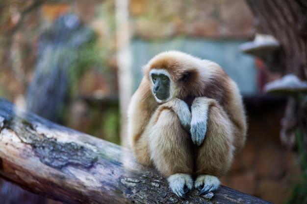 Nahaufnahmeporträt des weiß übergab den gibbon oder lar gibbon-affen, die auf einer niederlassung am zoo sitzen