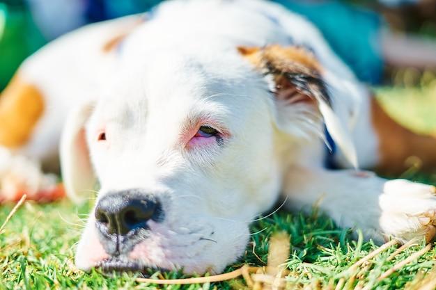 Nahaufnahmeporträt des weißen und braunen hundes, der auf dem feld ruht