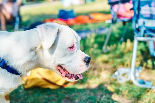 Nahaufnahmeporträt des weißen und braunen hundes, der im feld nach rechts schaut