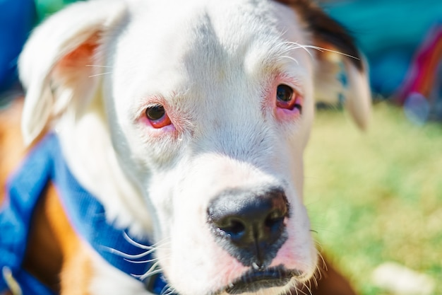 Nahaufnahmeporträt des weißen und braunen hundes, der kamera auf dem feld betrachtet