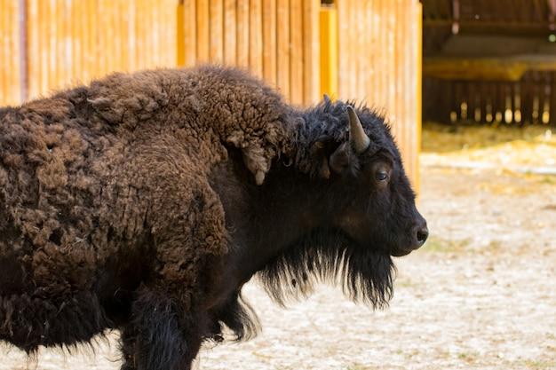 Nahaufnahmeporträt des wilden bisons von der seite gesehen.