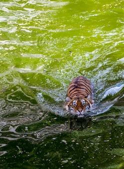 Nahaufnahmeporträt einer draufsicht des schwimmenden tigers.
