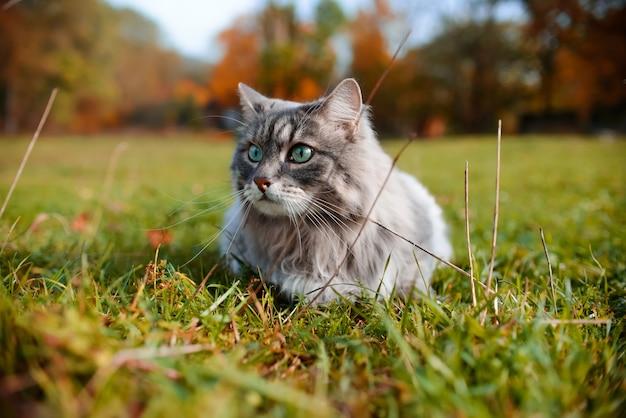 Nahaufnahmeporträt einer grauen katze im freien. sibirische katze