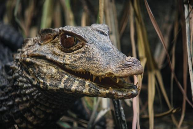 Nahaufnahmeporträt eines aligators in seinem lebensraum