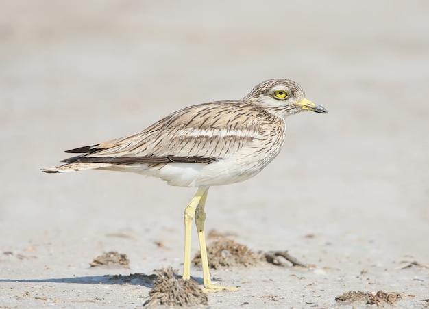 Nahaufnahmeporträt eines brachvogels mit großen gelben augen, die auf dem sand stehen