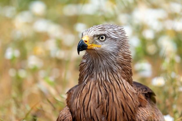 Nahaufnahmeporträt eines brown-drachens
