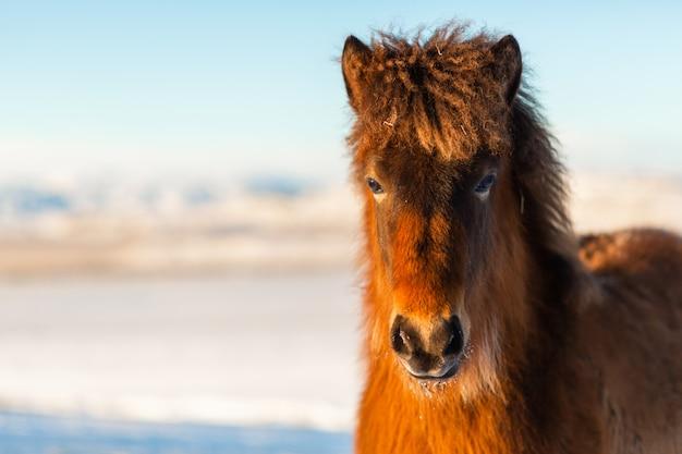 Nahaufnahmeporträt eines islandpferdes im winter.