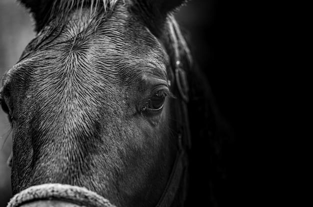 Nahaufnahmeporträt eines pferds in schwarzweiss