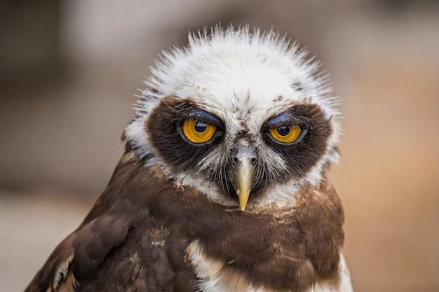 Nahaufnahmeporträt eines süßen eulenvogels, der nach vorne schaut