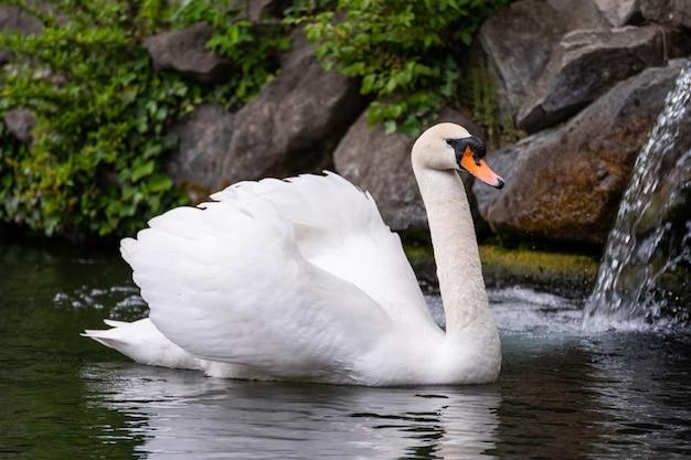 Nahaufnahmeporträt eines weißen schwans auf dem wasser