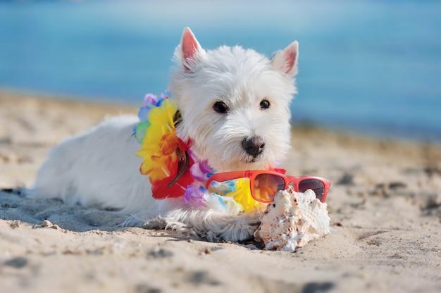 Nahaufnahmeporträt eines westie hundes am strand, der oberteil in den tatzen hält
