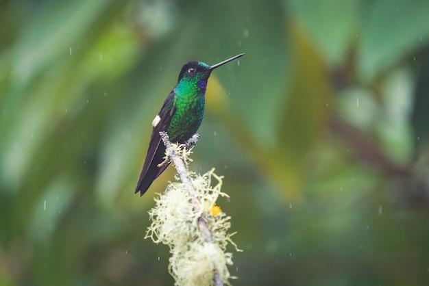 Nahaufnahmeporträt eines winzigen kolibri mit dunklen federn, der auf einer spitze eines baumastes thront