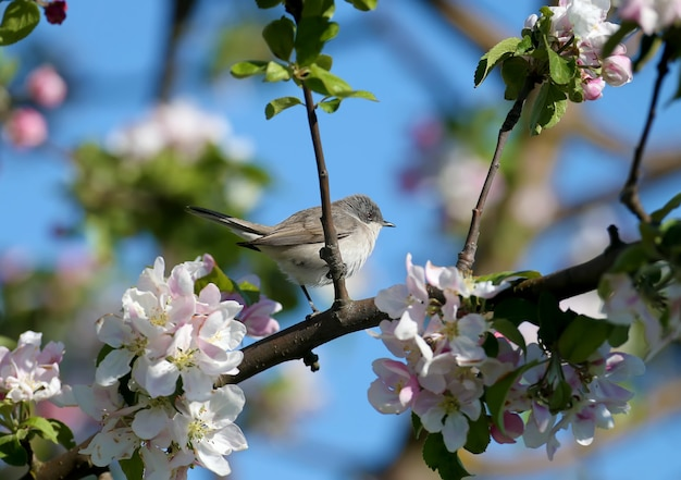 Nahaufnahmeportraits des kleinen weißkehlchens (curruca curruca) im natürlichen lebensraum Premium Fotos