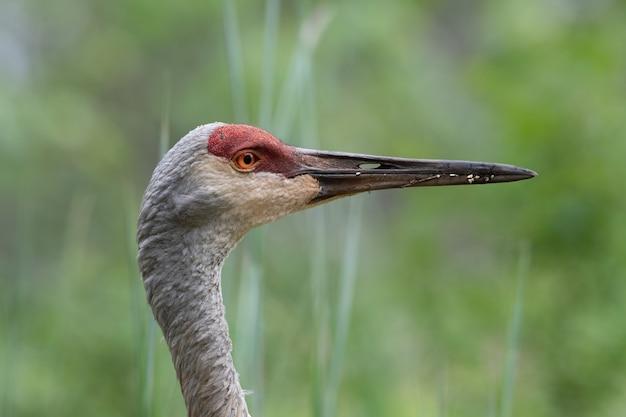 Nahaufnahmeprofil eines sand hill crane auf der suche nach nahrung