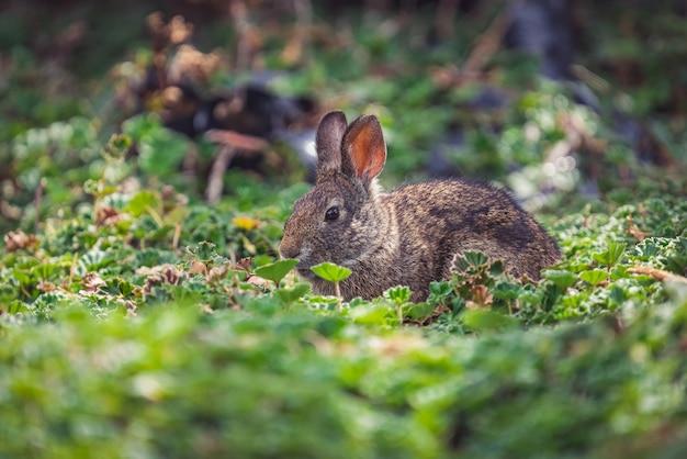 Nahaufnahmeprofilporträt eines pelzigen braunen kaninchens, das auf einer frischen waldwiese steht