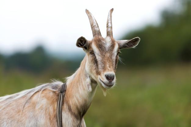 Nahaufnahmeprofilporträt von netten weißen haarigen bärtigen ziegen mit langen hörnern
