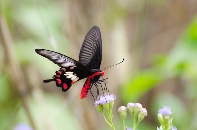 Nahaufnahmeschmetterling auf rosa blume, schöne monarchaktion in der natur